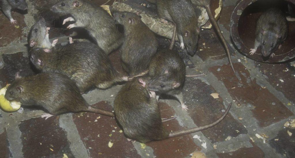 уничтожение крыс в Боровичах